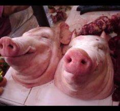 Fiebre porcina africana está en 11 de las 32 provincias del país, reveló Agricultura